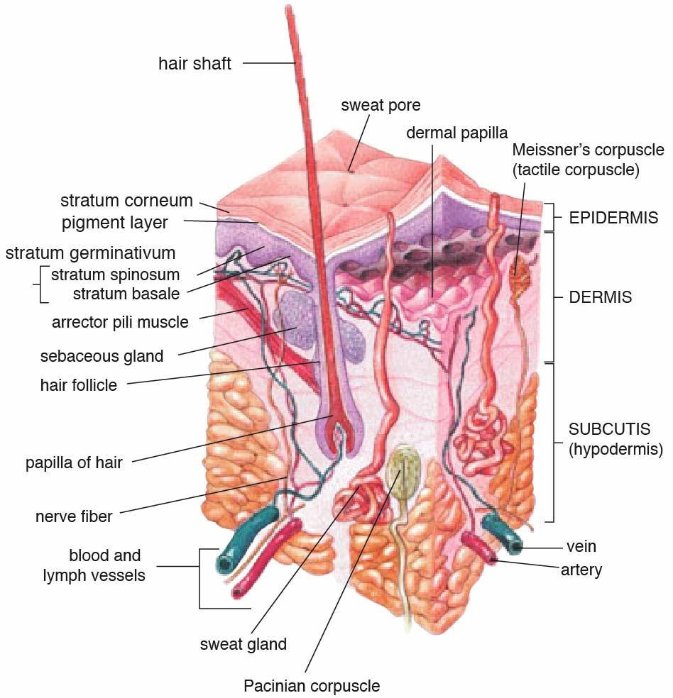 skin and hair follicle